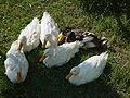 Darica Duck 02294.jpg