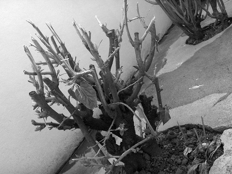 File:Dead tree black&white.jpg