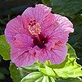 Deep Pink Hibiscus (5495281684).jpg