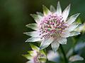Delicate flower (9029281698).jpg
