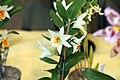 Dendrobium Frosty Dawn 10zz.jpg