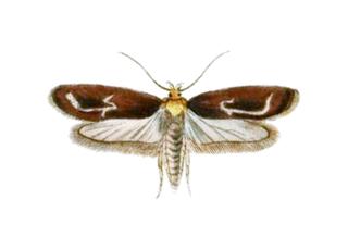 <i>Depressaria</i> genus of insects