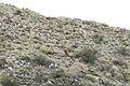 Desert Bighorn Sheep (Ovis canadensis nelsoni) (20928771679).jpg