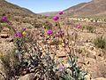 Desierto florido 2015 (21922546479).jpg