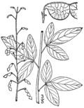 Desmodium obtusum (as Meibomia rigida) BB-1913.png