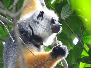 Andasibe-Mantadia National Park - Diademed sifaka with radio collar