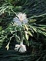 Dianthus canescens kz02.jpg