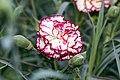 Dianthus caryophyllus Brocade 2zz.jpg