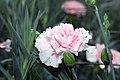 Dianthus caryophyllus CFPC Malea 1zz.jpg