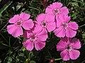 Dianthus sp. (36384323056).jpg