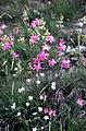 Dianthus sylvestris Wulf. (4555284520).jpg