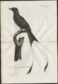 Dicrurus platurus - 1796-1808 - Print - Iconographia Zoologica - Special Collections University of Amsterdam - UBA01 IZ16400109.tif