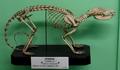 Didelphis skeleton.png