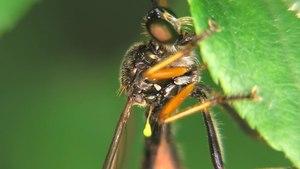 File:Dioctria hyalipennis - 2013-06-18.webm