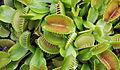 Dionaea muscipula Brest.jpg