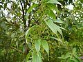 Dioscorea oppositifolia (8071196657).jpg