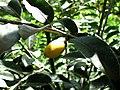 Diospyros sandwicensis (5188006670).jpg