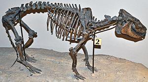 Merycoidodontoidea - Diplobunops skeleton