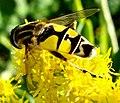 Diptera (2764331342).jpg