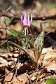 Dogtooth violet - Erythronium dens-canis - panoramio (16).jpg