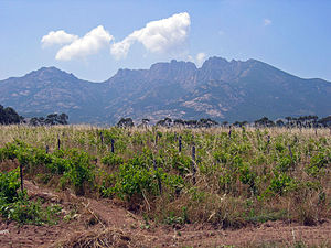 Corsica wine - A vineyard in the Figari region of south west Corsica.