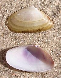 Donax trunculus shell