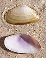 Donax trunculus shell.jpg