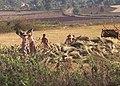 Donne burmesi raccolgono riso.jpg