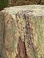 Doornse Gat Mierennest in een boomstronk 1.JPG