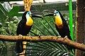 Dottertukan (Ramphastos vitellinus) Weltvogelpark Walsrode 2010.jpg