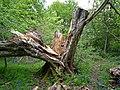 Downy Birch, Priory Park - geograph.org.uk - 1291967.jpg