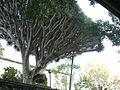 Dragon tree in Gibraltar.jpg