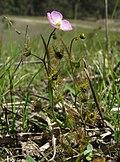 Drosera peltata plant2 (15406307542).jpg