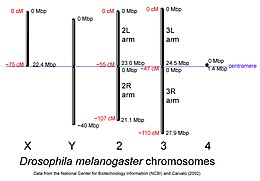 Drosophila-chromosome-diagram.jpg