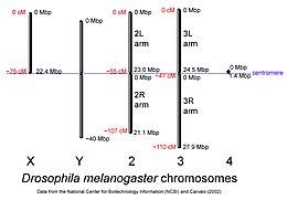 Drosophila Melanogaster Wikipedia