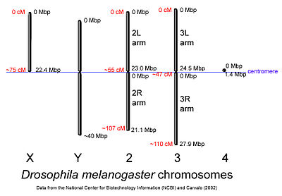 Drosophilia melanogaster sex linked inheritance pattern of white eye color