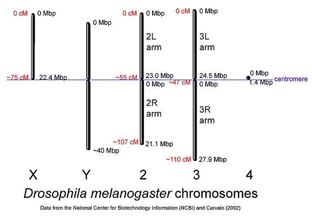 http://upload.wikimedia.org/wikipedia/commons/thumb/1/1d/Drosophila-chromosome-diagram.jpg/640px-Drosophila-chromosome-diagram.jpg