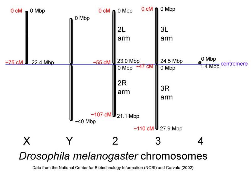 File:Drosophila-chromosome-diagram.jpg