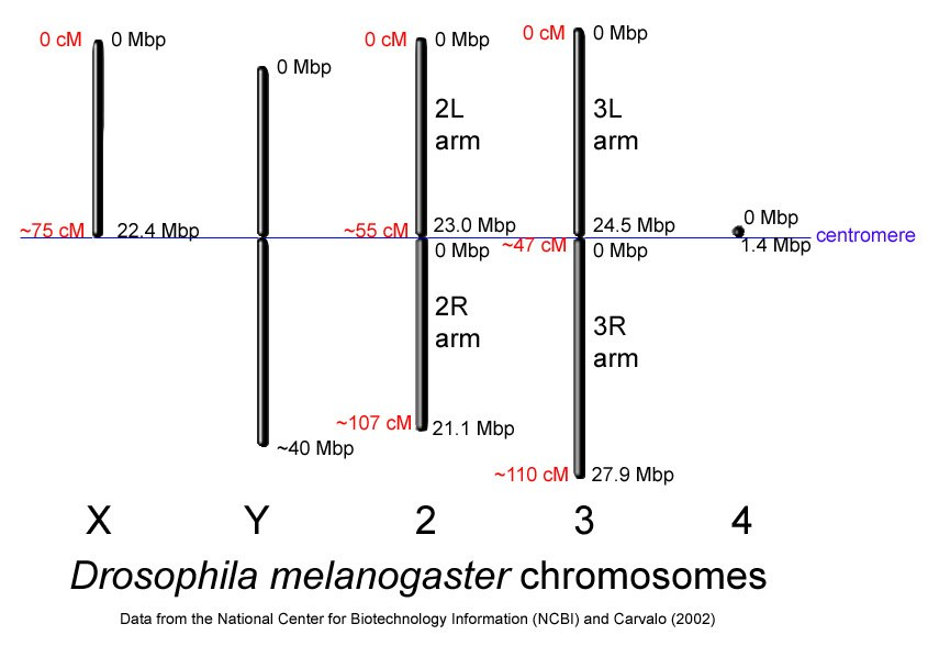 Drosophila-chromosome-diagram