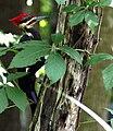 Dryocopus-pileatus-giant-woodpecker.JPG