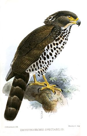 Congo serpent eagle - Adult of the nominate subspecies