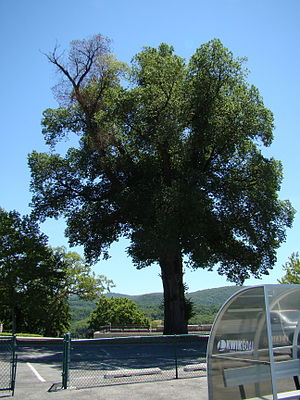 Dutch elm disease - An infected English elm at West Point, NY, July 2010