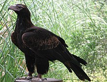 EagleWedgetail2.jpg