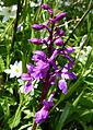 Early Purple Orchid. (Orchis mascula). - Flickr - gailhampshire.jpg
