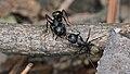 Eastern Black Carpenter Ants (Camponotus pennsylvanicus) - Guelph, Ontario 2017-04-27 (01).jpg