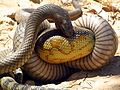 Eastern Brown Snake eating an Eastern Blue tongue. (8235989891).jpg