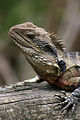 Eastern Water Dragon (3029587600).jpg