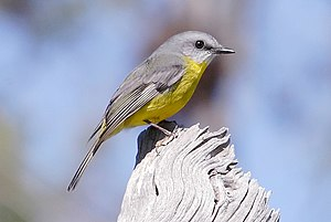 Eastern Yellow Robin 2007.jpg