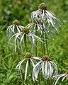 Echinacea pallida (8).jpg