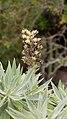Echium acanthocarpum 1.jpg